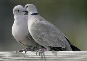 "FILE- This Feb. 12, 2009, file photo shows two turtle doves in St. George Island, Fla. The cost of two turtle doves rose 11.5 percent, according to the 32nd annual PNC Wealth Management Christmas Price Index released Monday, Nov. 29, 2015. Monday marks the 32nd year that the Pittsburgh-based bank tracks inflation by pricing the cost of the items listed in the ""The Twelve Days of Christmas"" carol. (AP Photo/Phil Coale, File)"